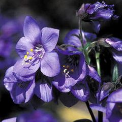 Foto: Jacobsladder 'Bressingham Purple'
