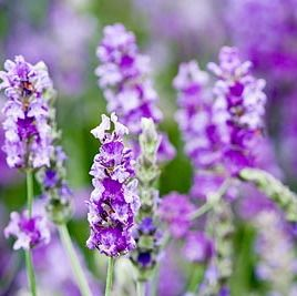 Foto: Lavendel 'Princess Blue'