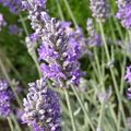 Foto: Lavendel 'Richard Gray'