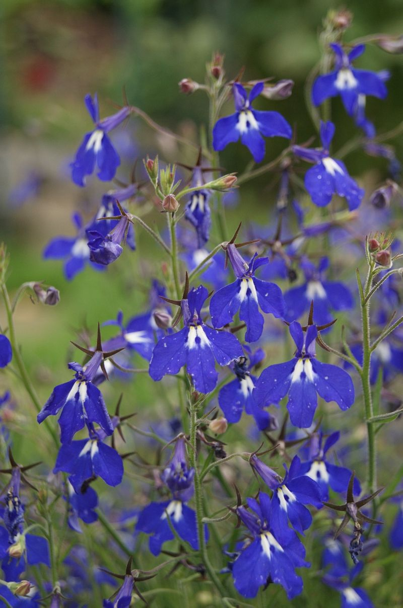 Foto: Lobelia 'Richardii'
