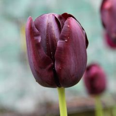 Foto: Tulp 'Queen of night'