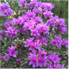 Foto: Rododendron 'Frost Hexe'