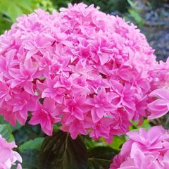 Foto: Hortensia 'You and Me Perfection'