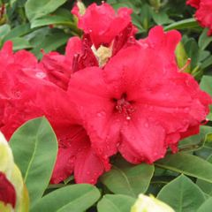 Foto: Rododendron 'Red Jack'