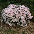 Foto: Rododendron 'Ginny Gee'