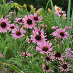 Foto: Tennessee Purple Coneflower
