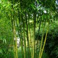 Foto: Phyllostachys 'Huanwenzhu'
