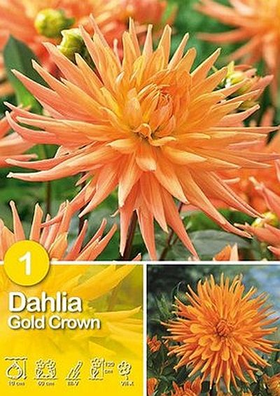 Foto: Dahlia 'Gold Crown'