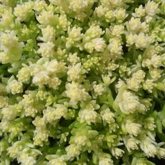 Foto: Sedum 'Yellow Queen'
