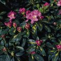 Foto: Rododendron 'Goldflimmer'