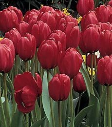 Foto: Tulp 'Red impression'