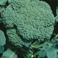 Foto: Broccoli 'Premium Crop F1'