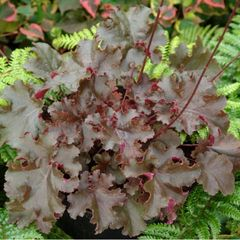 Foto: Purperklokje 'Chocolate Ruffles'