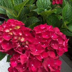 Foto: Hortensia 'Hot Red Violet'