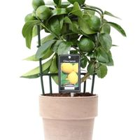 Citrus Lemon in Verona pot