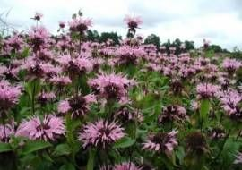 6 x Monarda 'beauty Of Cobham' - Bergamotplant Pot 9x9cm