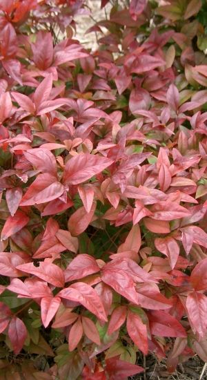 Nandina Domestica - Hemelse Bamboe 30-40 Cm In Pot