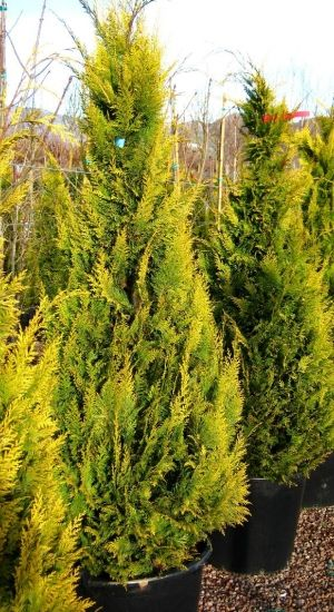 CHAMAECYPARIS LAWSONIANA 'STARDUST' - Lawsoncypres 60-80 cm in pot
