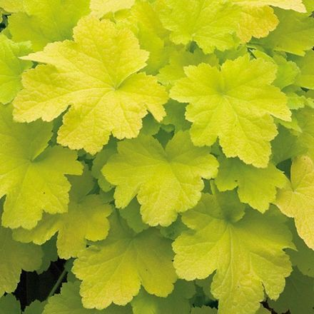 6 X Heuchera Citronelle® - Purperklokje Pot 9x9cm