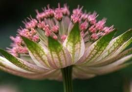 Astrantia major 'Buckland' - Zeeuws knoopje