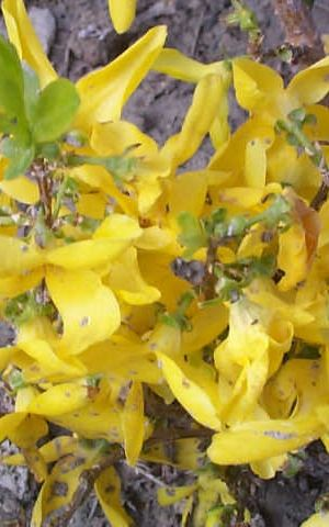 Forsythia Intermedia Week-end ('courtalyn') - Chinees Klokje 50-60 Cm In Pot
