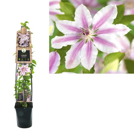 Klimplant Clematis Nelly Moser 120 Cm
