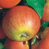 MALUS D. 'COX'S ORANGE PIPPIN' - Appel Struik in pot