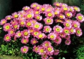 6 X Aster alpinus 'Happy End' - Voorjaarsaster