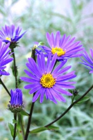 6 X Aster Amellus 'Blue King' - Zomeraster Pot 9x9cm