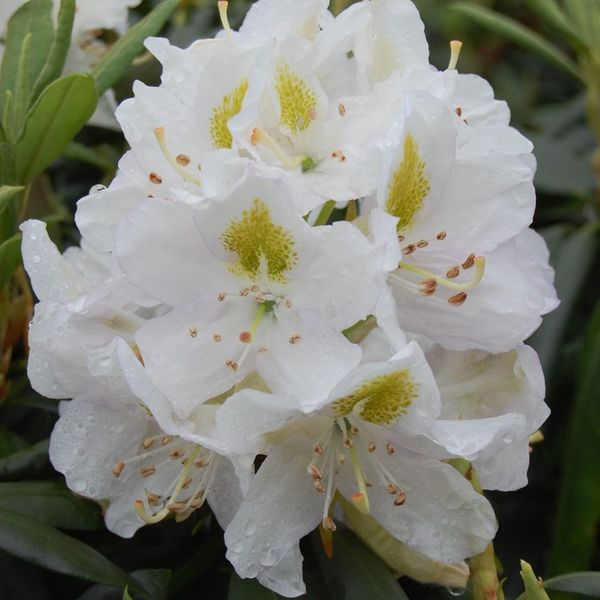 Rhododendron 'Madame Masson'  40-50cm in Pot