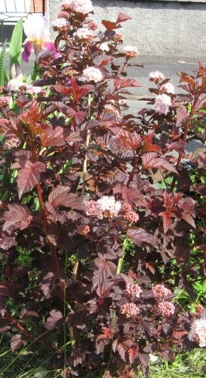 Physocarpus Opulifolius 'Red Baron' - Blaasspiraea 30-40 Cm In Pot