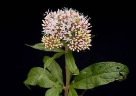 6 x Eupatorium Cannabinum  - Koninginnekruid Pot 9x9 cm