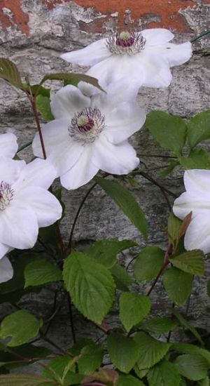 Clematis 'Miss Bateman' - Bosrank 50-60 Cm In Pot
