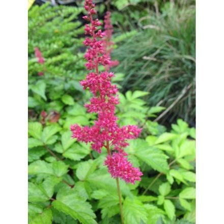 6x Astilbe Arendsii 'Fanal'