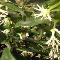 Sarcococca Confusa - Vleesbes 20-25 Cm In Pot