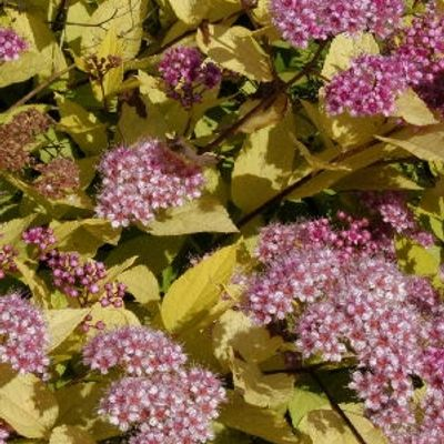Spiraea Japonica 'golden Princess' - Spierstruik  25-30 Cm In Pot