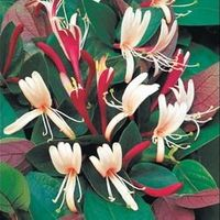 Lonicera Heckrotti 'american Beauty' - Kamperfoelie 50-60 Cm In Pot