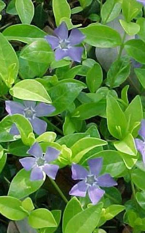 100 x Vinca minor - Maagdenpalm