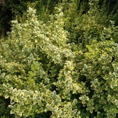 Euonymus Fortunei 'emerald 'n Gold' - Kardinaalsmuts 20-30 Cm In Pot