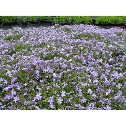 6 x Phlox subulata 'Emerald Cushion Blue'