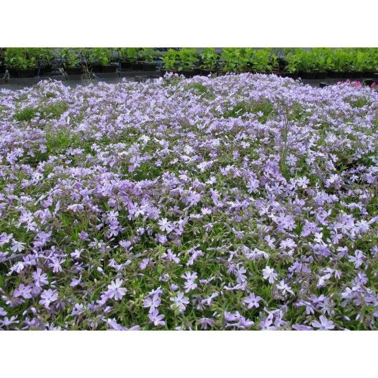 Kwekerij Vlastuin 6 x Phlox subulata 'Emerald Cushion Blue'