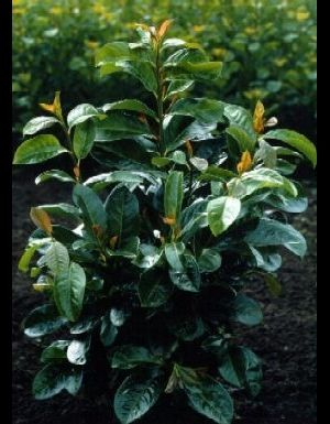 Prunus Laurocerasus Etna ( 'anbri') - Laurierkers 60-80 Cm In Pot