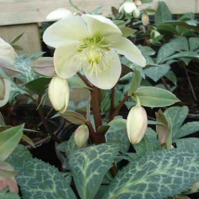 3 x Helleborus nigercors 'Magic Leaves' - Nieskruid Pot 9x9cm