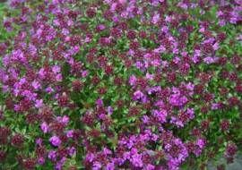 Thymus Praecox 'Creeping Red'  Tijm