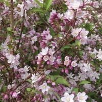 Deutzia Purpurascens 'kalmiiflora' - Bruidsbloem 40-60 Cm In Pot