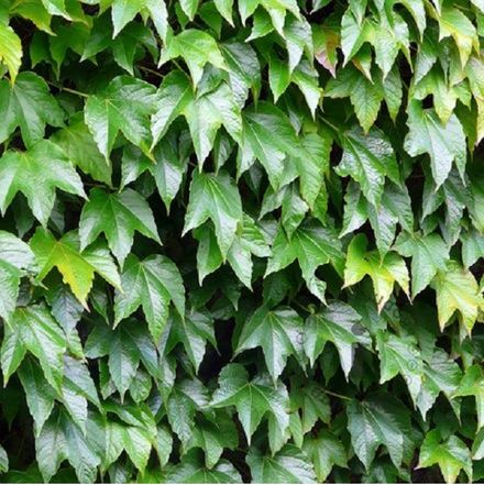 Parthenocissus Tricuspidata 'Veitch Boskoop' - Wilde Wingerd 50-60 M In Pot