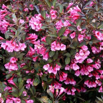 Weigela Florida 'Victoria' - Weigelia 50-60 Cm In Pot