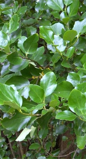 Griselinia Littoralis - 30-40 Cm - In Pot