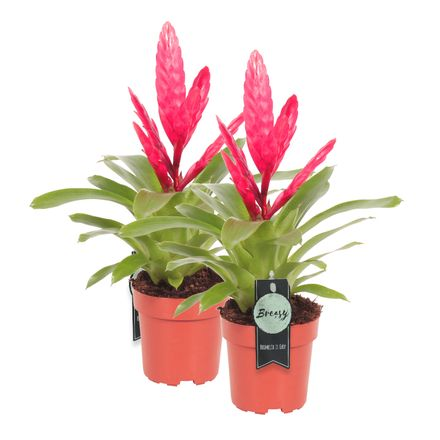 Vriesea Intenso Pink double