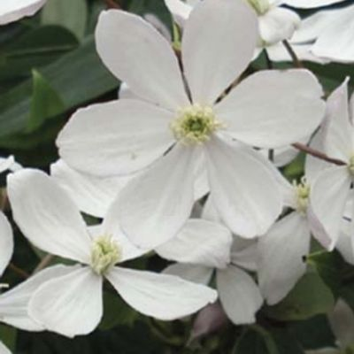 Clematis Armandii 'apple Blossom' - Bosrank 50-60 Cm In Pot